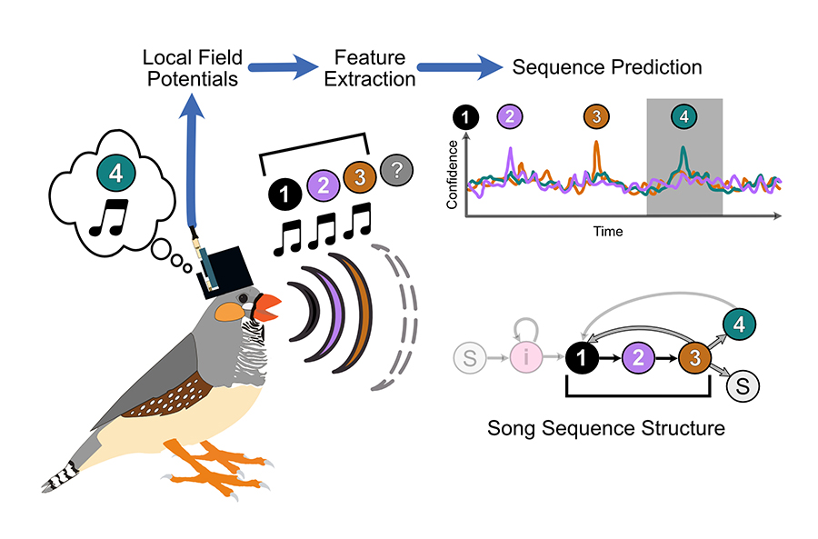 Decoding Birds' Brain Signals Into Syllables of Song